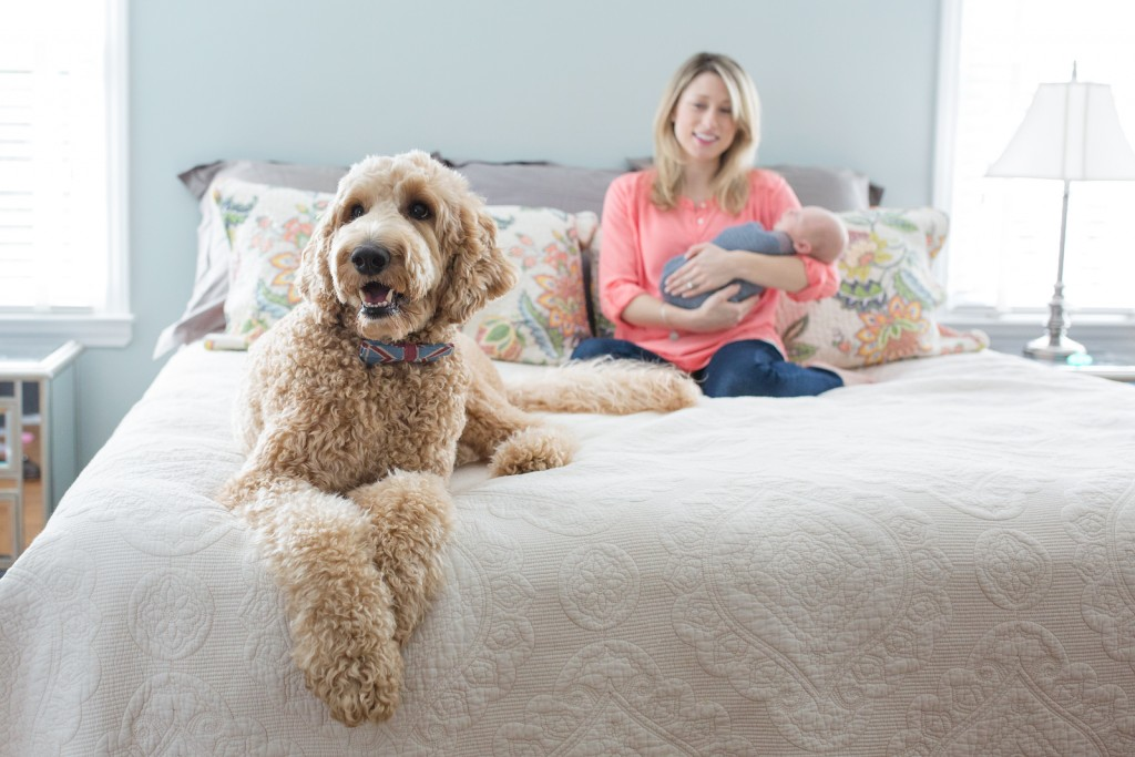 Goldendoodle with newborn